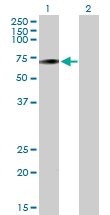 H00219983-B01 - Olfactory receptor 4D6