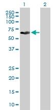 H00338785-B01P - Cytokeratin 79