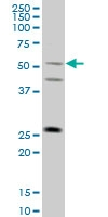 H00339976-M01 - TRIML1 / RNF209