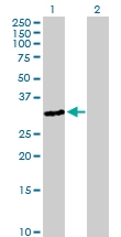 H00390756-B01P - Olfactory receptor 3A4