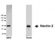 HA263-100 - CD112 / Nectin 2