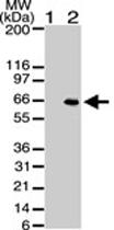 MAB0065 - AKT1 / PKB
