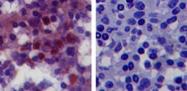 MAB0066 - CD282 / TLR2