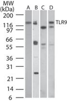 MAB0087 - CD289 / TLR9