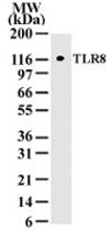 MAB0089 - CD288 / TLR8