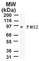 MAB0095 - PMS2