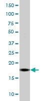 MAB0112 - Histone H3.1