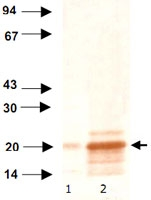 MAB0498 - Heat shock protein beta-6 / HSPB6