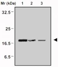 MAB0669 - Peroxiredoxin-5 / PRDX5