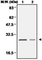 MAB0673 - Peroxiredoxin-4 / PRDX4