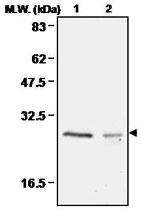 MAB0674 - Peroxiredoxin-4 / PRDX4