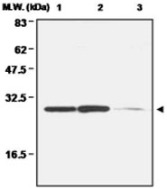 MAB0677 - Peroxiredoxin-4 / PRDX4