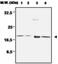 MAB0680 - Peroxiredoxin-5 / PRDX5