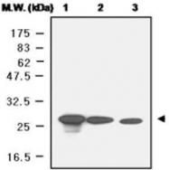 MAB0681 - Peroxiredoxin-6 / PRDX6
