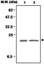 MAB0684 - Superoxide Dismutase 1 / SOD1