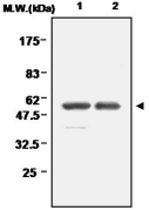 MAB0685 - Glutathione reductase