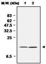 MAB0688 - Superoxide Dismutase 1 / SOD1