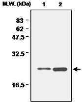 MAB0690 - Peroxiredoxin-1 / PRDX1