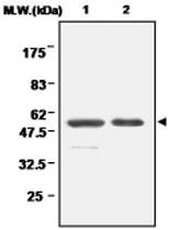 MAB0693 - Glutathione reductase