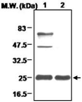 MAB0696 - Peroxiredoxin-3 / PRDX3