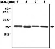 MAB0697 - Peroxiredoxin-3 / PRDX3