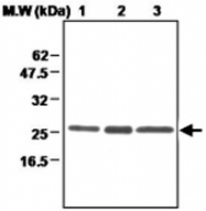 MAB0698 - Peroxiredoxin-3 / PRDX3