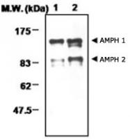 MAB0708 - Amphiphysin