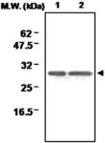 MAB0712 - Peroxiredoxin-6 / PRDX6