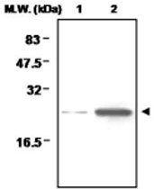 MAB0713 - Peroxiredoxin-1 / PRDX1