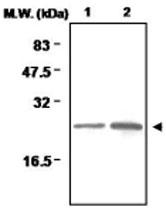MAB0714 - Peroxiredoxin-1 / PRDX1
