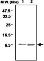 MAB0717 - Glutaredoxin-1 / GLRX1