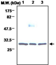 MAB0718 - 14-3-3 protein beta/alpha