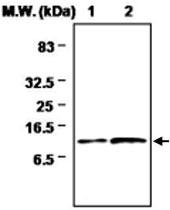MAB0723 - Thioredoxin-2 / TRX2