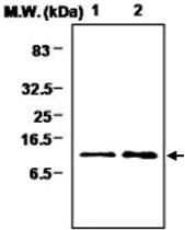 MAB0724 - Thioredoxin-2 / TRX2