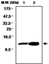 MAB0726 - Glutaredoxin-1 / GLRX1