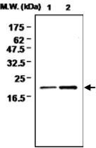 MAB0729 - Glutathione peroxidase 4 / GPX4