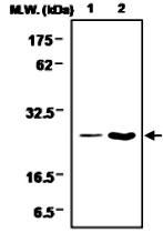 MAB0730 - Glutathione peroxidase 1 / GPX1