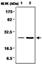 MAB0731 - Glutathione peroxidase 1 / GPX1