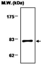 MAB0732 - Transglutaminase-2 (TGM2)