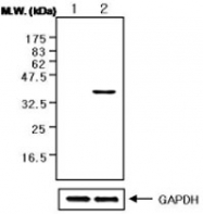 MAB0738 - GAPDH