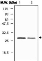 MAB0741 - Peroxiredoxin-6 / PRDX6
