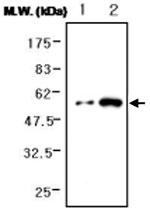 MAB0744 - Fibrinogen