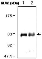 MAB0745 - Lactotransferrin
