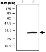 MAB0746 - Glutathione peroxidase 3 / GPX3