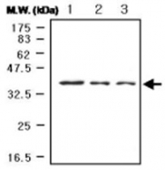 MAB0750 - MAP kinase p38 alpha / MAPK14