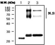 MAB0751 - Apolipoprotein A I / APO AI