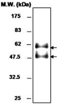 MAB0761 - Selenoprotein P (SEPP1)