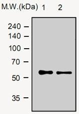 MAB0767 - Vitamin D-binding protein