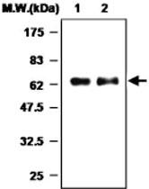MAB0772 - Myeloperoxidase