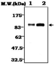 MAB0782 - Plasminogen / PLG